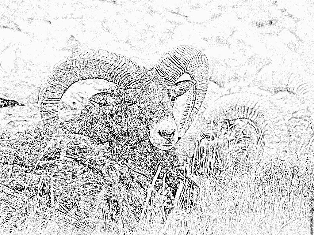Coloriage Bouquetins Parc Merlet Juin 2007 À Imprimer Pour concernant Dessin Mouflon