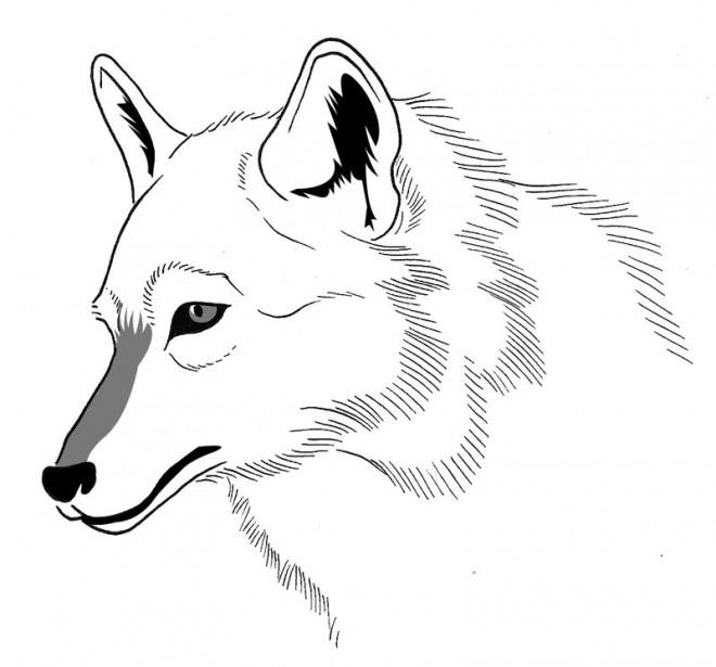 Coloriage Loup 20 Dessin Gratuit À Imprimer à Loup Dessin Facile
