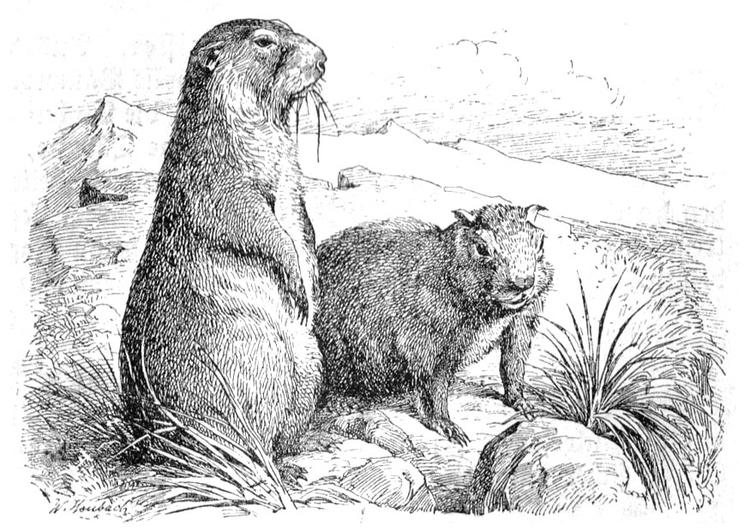 Coloriage Marmotte - Coloriages Gratuits À Imprimer pour Dessin De Marmotte