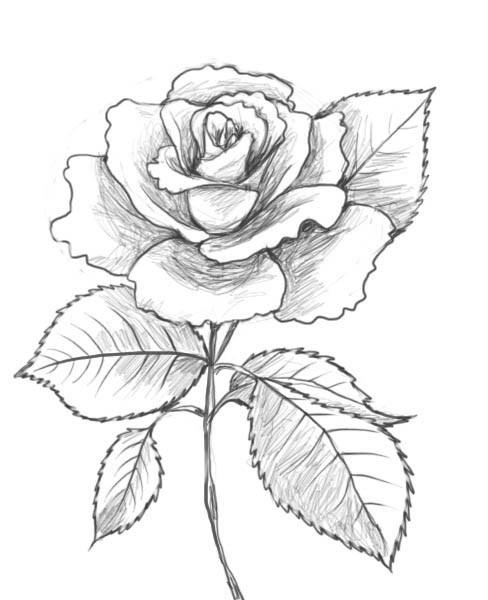 Coloriage Rose Au Crayon Dessin Gratuit À Imprimer encequiconcerne Dessin De Rose A Imprimer