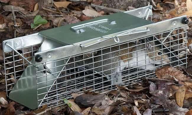 Comment Se Débarasser Des Écureuils: Les Meilleurs Pièges concernant Photo Cage ? ?Cureuil