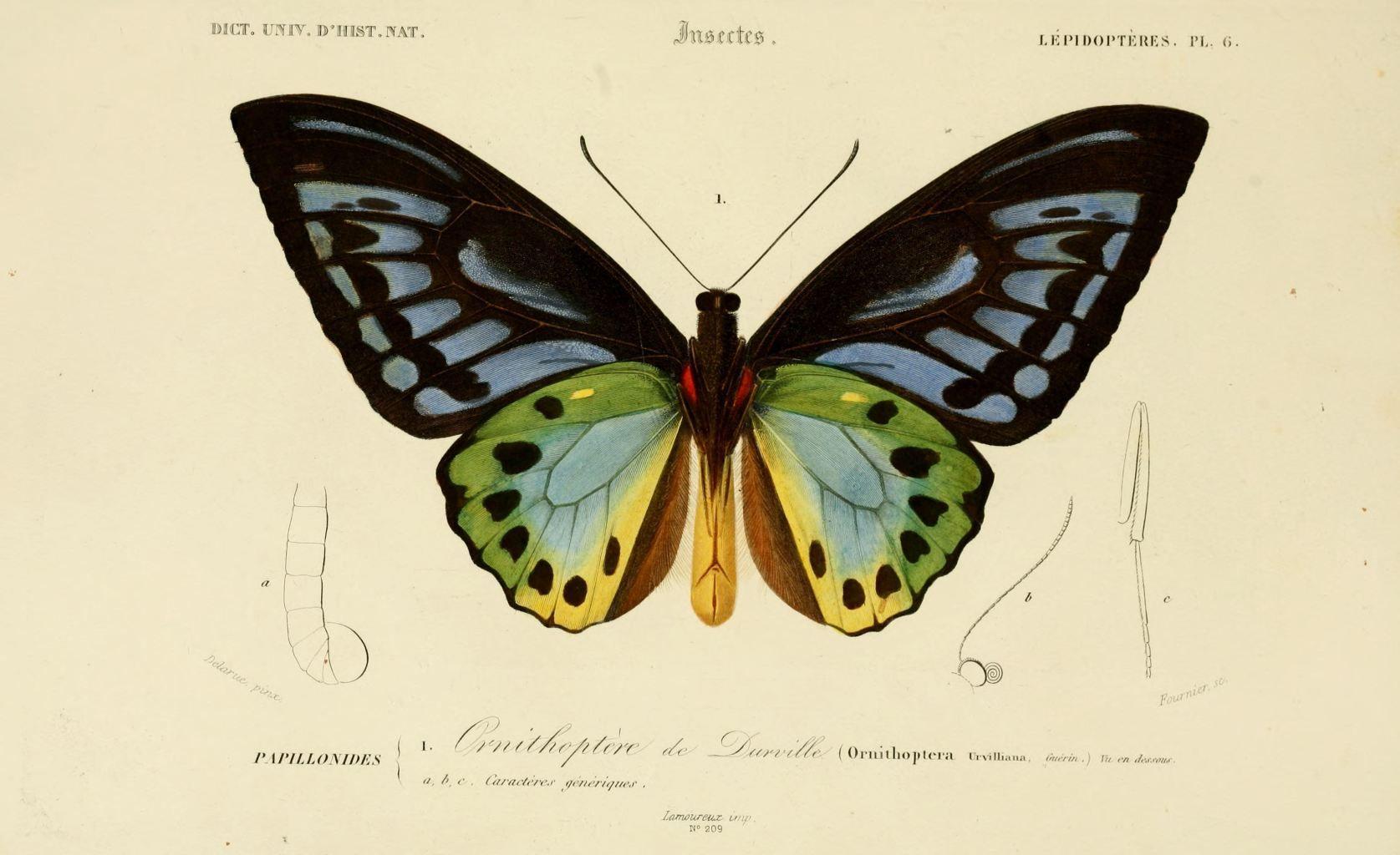 Dessin Insectes 0173 Papillon Ornithoptere De Durville à Dessin De Papillon En Couleur
