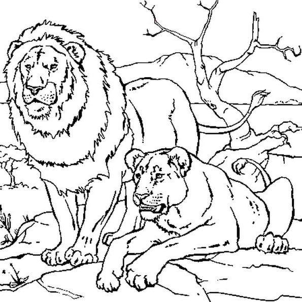 Dessin Lionceau Cool Photographie Lion Et Lionne Coloriage tout Coloriage Lionne