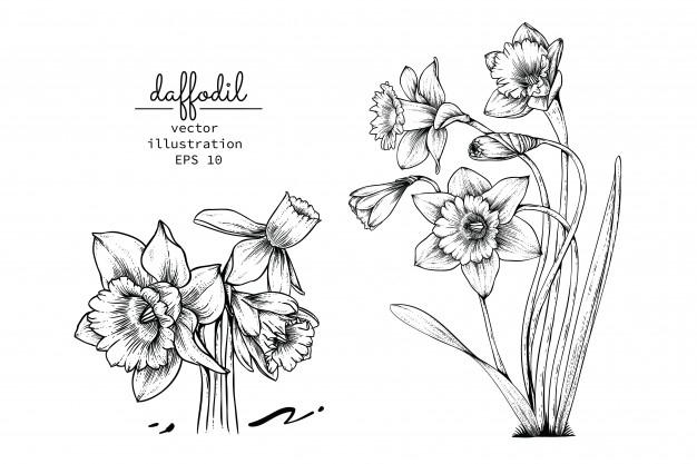 Dessins De Fleur De Narcisse De Jonquille. | Vecteur Premium avec Jonquille Dessin