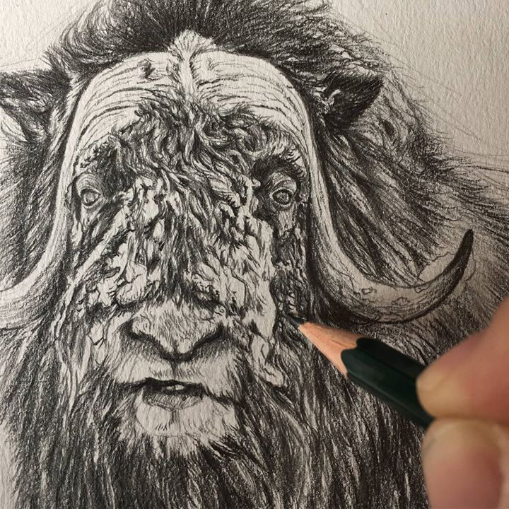 #Drawing Of A #Muskox #Commission #Sketch . #Dessin D'un # encequiconcerne Dessin D Un Boeuf
