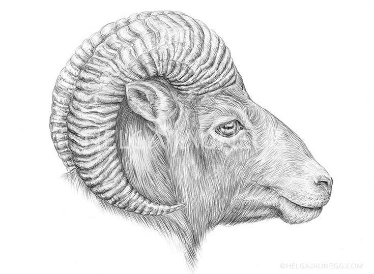 Europäisches Mufflon | Illustrator, Zeichnung Ideen encequiconcerne Dessin Mouflon