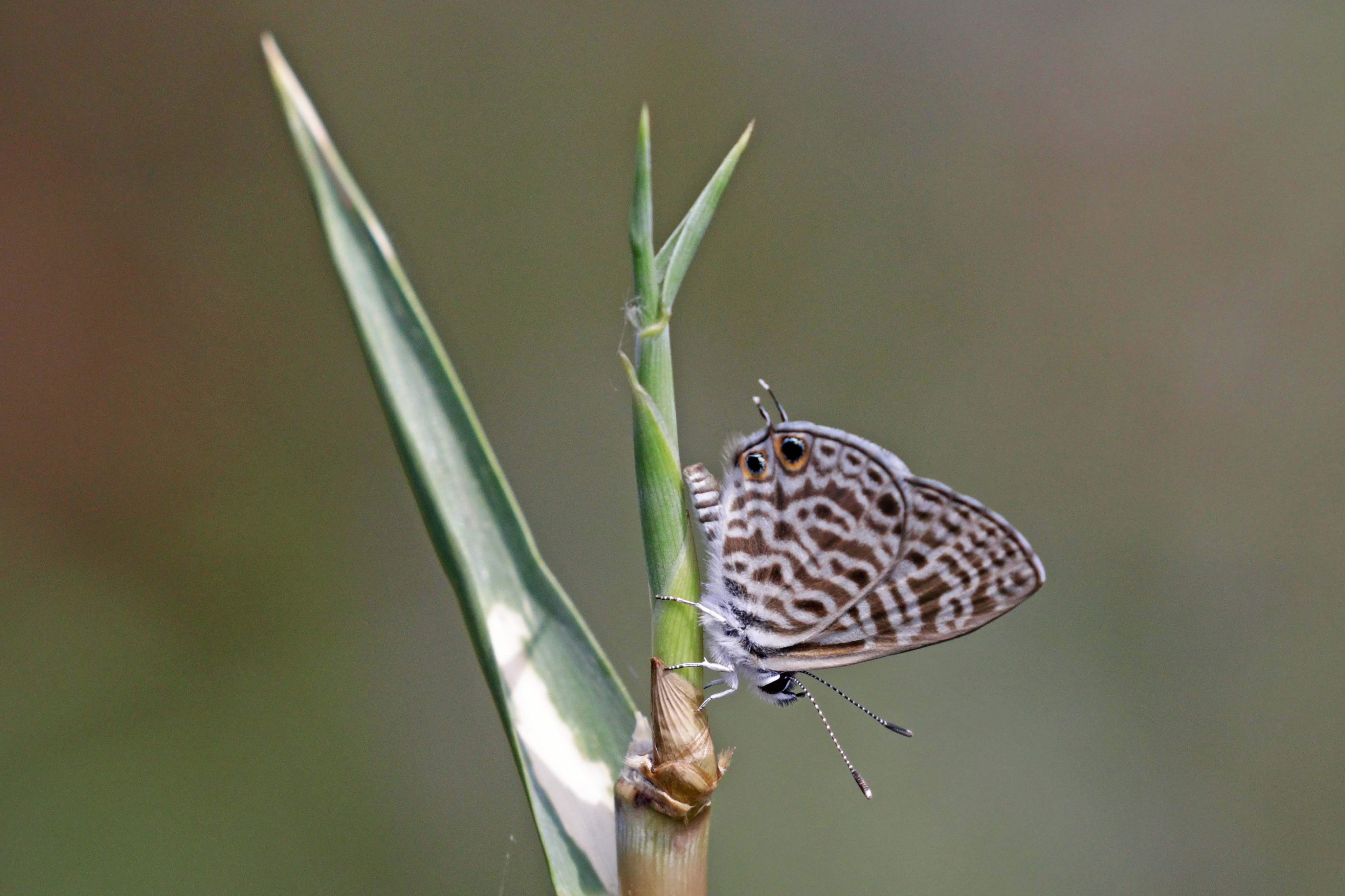 File:madagascar Zebra Blue (Leptotes Rabefaner concernant Zebre Dans Madagascar