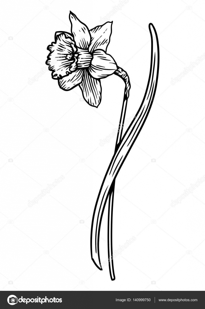Fleur Jonquille Illustration, Dessin, Gravure, Dessin Au serapportantà Jonquille Dessin