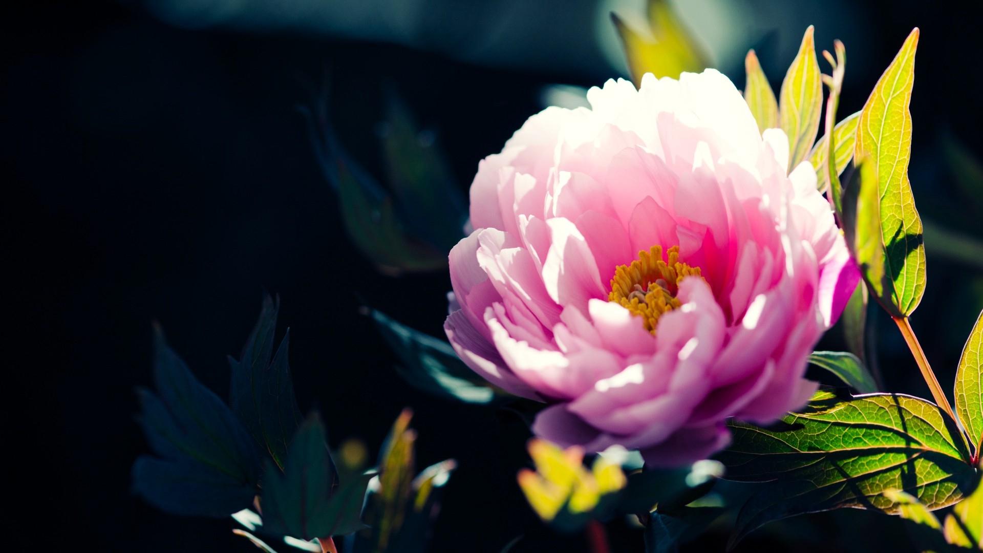 Fleur Rose Printemps Fond Écran - 10 000 Fonds D'Écran Hd intérieur Fond ?Cran Fleurs Et Oiseaux