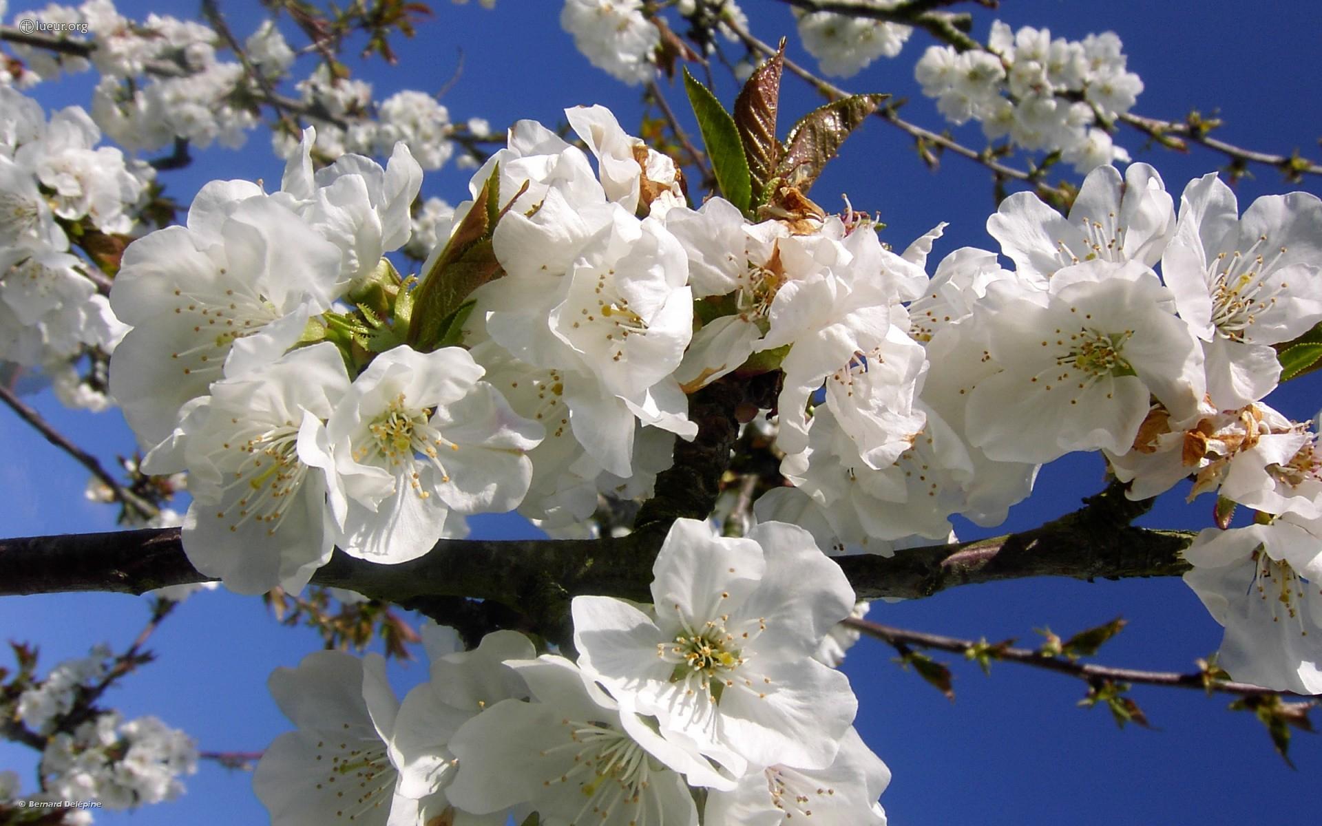 Fond D'Ecran 430 : Cerisier En Fleur concernant Fond ?Cran Fleurs Et Oiseaux