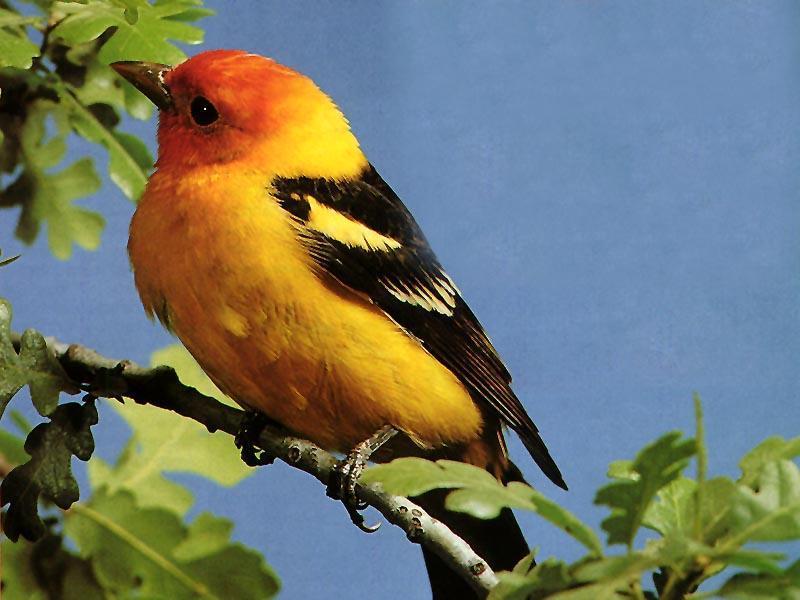 Fond Ecran Oiseaux - Page 3 destiné Fond ?Cran Oiseaux Exotiques