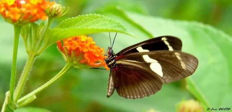 Fonds D'Écran Animaux > Fonds D'Écran Insectes - Papillons à Mot Exotique Font D ?Cran