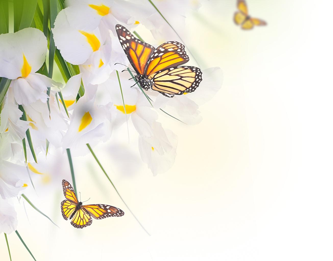 Fonds D'Ecran Papilionoidea Monarque Papillon Iris Animaux tout Fond ?Cran Fleurs Et Oiseaux