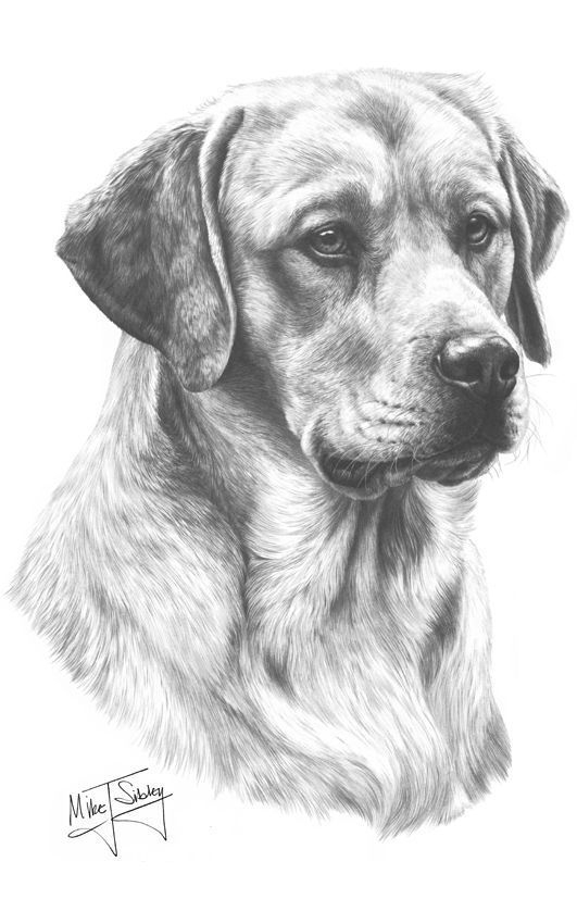 Golden Labrador Print By Mike Sibley   Çizimler, Çizim Ve à Dessin De Golden Retriever A Imprimer