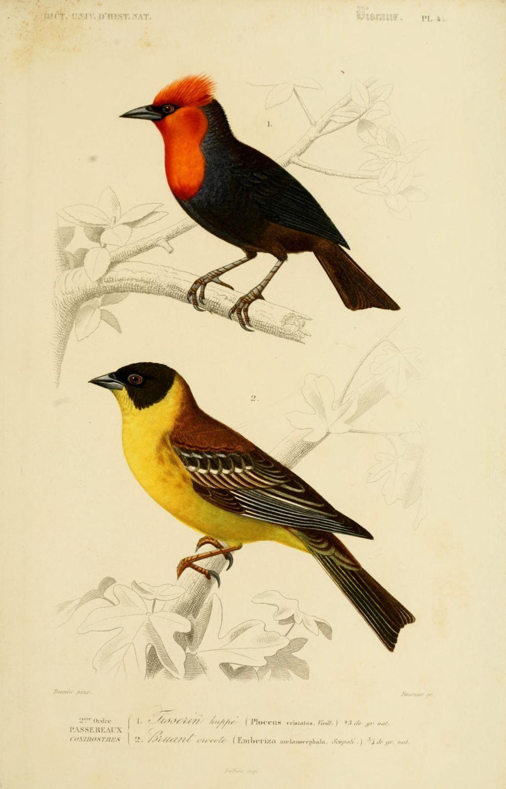 Gravures Couleur D'Oiseaux - Gravure Oiseau 0211 Brunant avec Coloriage Oiseaux Tropicaux