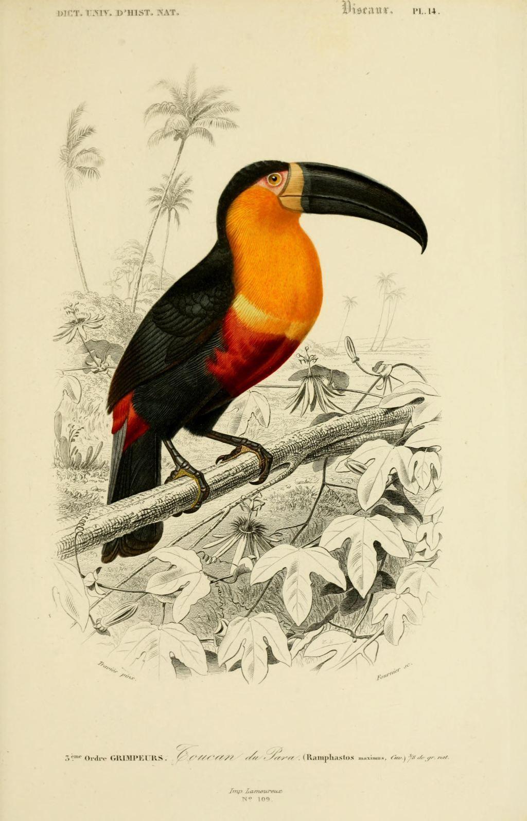 Gravures Couleur D'Oiseaux - Gravure Oiseau 0247 Toucan De encequiconcerne Coloriage Oiseaux Tropicaux