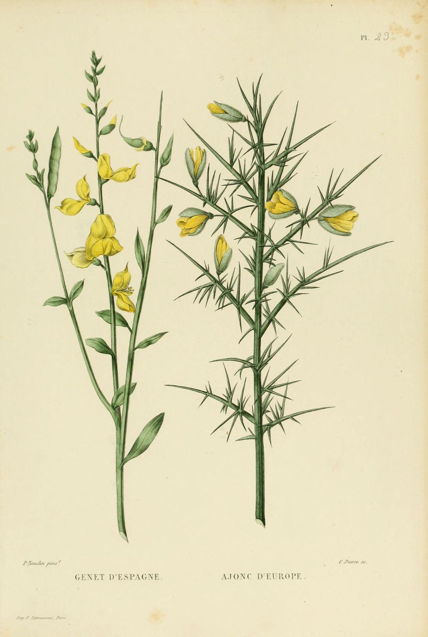 Gravures Plantes - Gravures Plantes - 0057 Genet D Espagne avec Dessin D Espagne