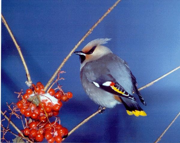Le Jaseur Boréal concernant Fond D'?Cran Oiseaux Exotiques