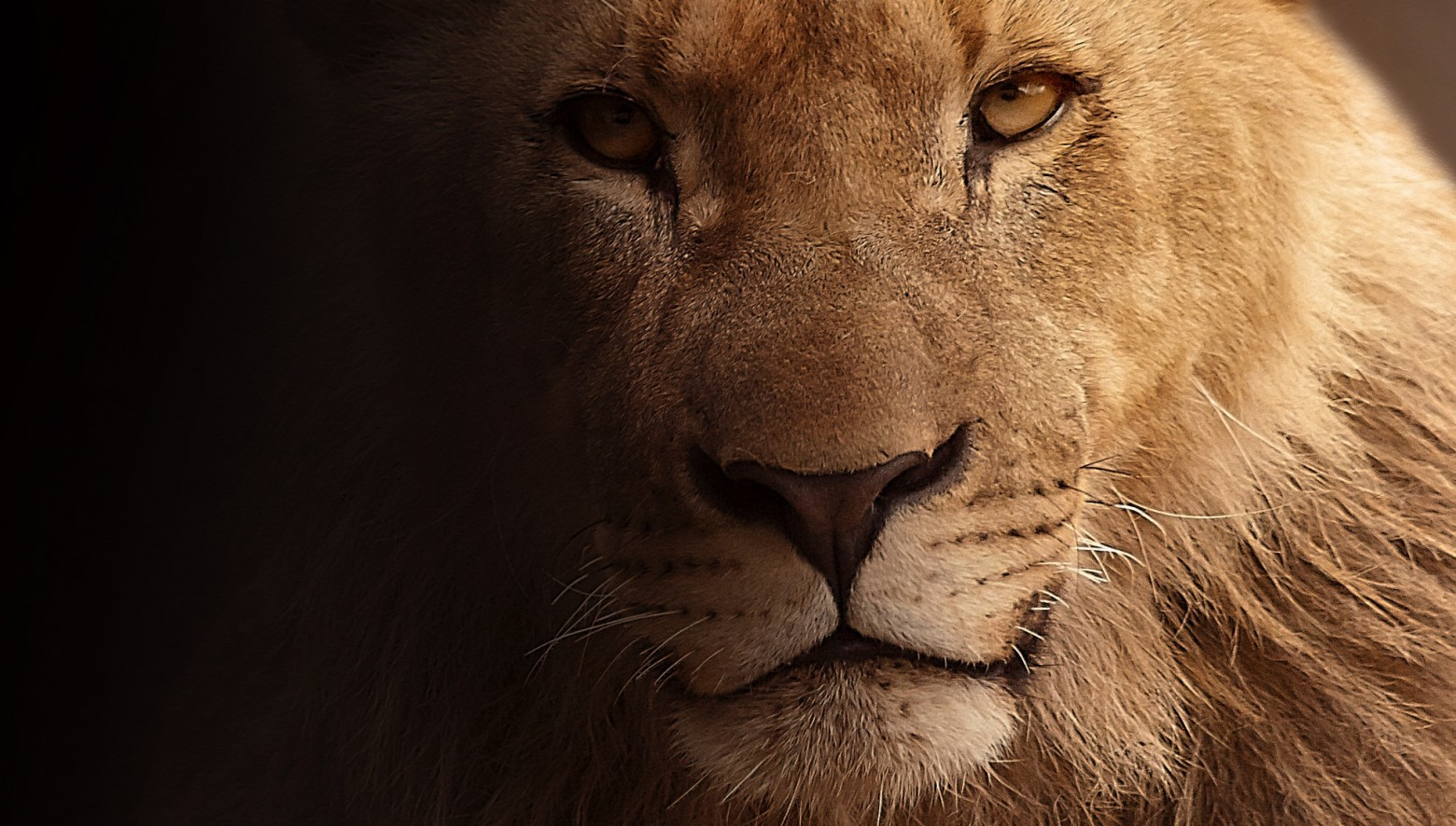 Le Lion Photo Gratuite Libre De Droit | Images Gratuites dedans Bogi Wallpapers T?L?Chargement Libre