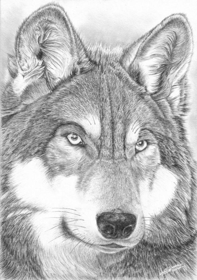 Loup Pelage Travaillé   Loup Dessin, Peinture De Loup serapportantà Tete De Loup Dessin