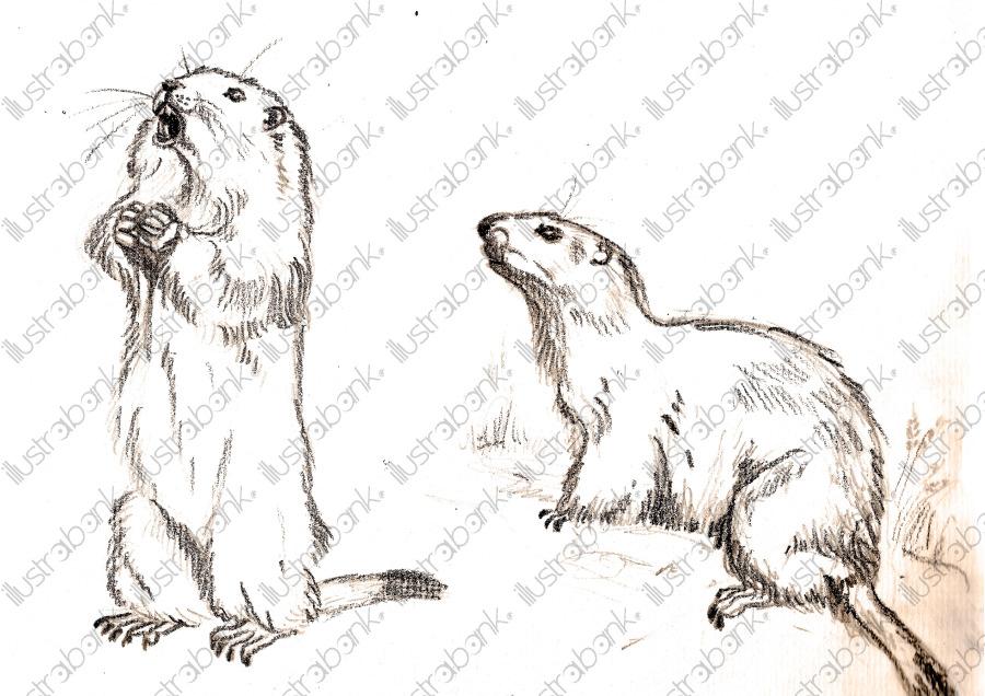 Marmotte Illustration Libre De Droit Sur Illustrabank serapportantà Dessin De Marmotte