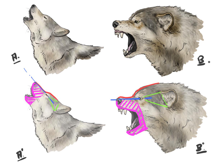 Meilleure Nouvelle Tete De Loup Dessin Facile De Face pour Loup Dessin Facile