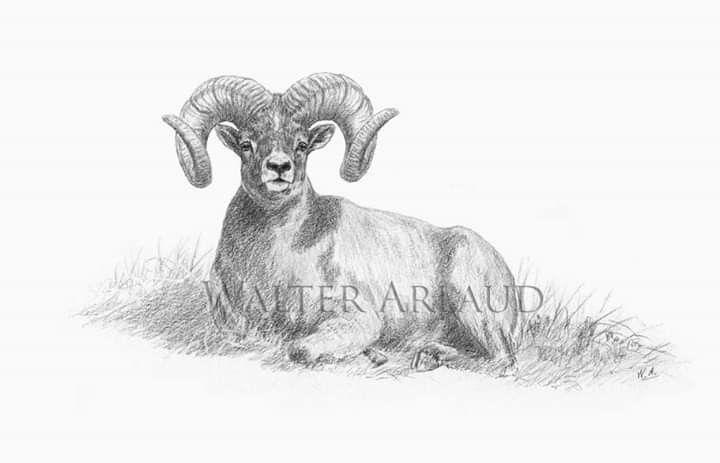 Mouflon De Nivicola / Snow Sheep Dessin Walter Arlaud Art avec Dessin Mouflon