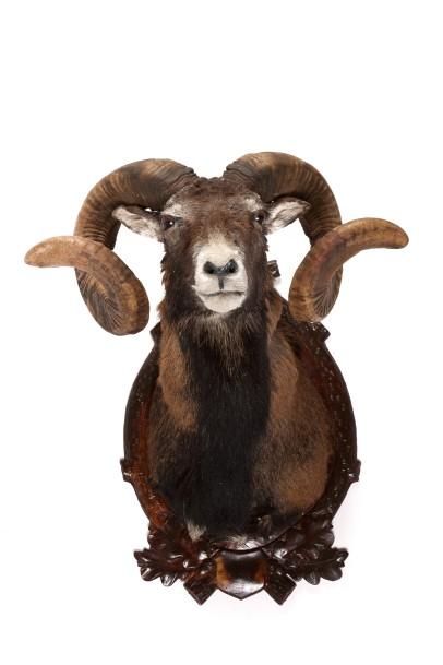 Mouflon D'europe : Tête En Cape Avec Écusson Style Forêt destiné Dessin Mouflon