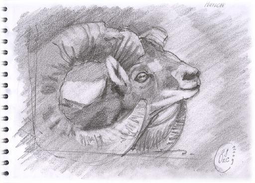 Mouflon - La Bambouseraie serapportantà Dessin Mouflon