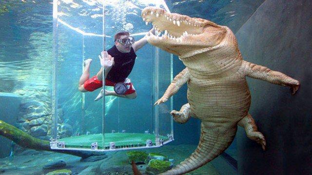 Nageons Ensemble Avec Le Plus Gros Crocodile Du Monde | Buzzly destiné Y Avait Des Gros Crocodiles