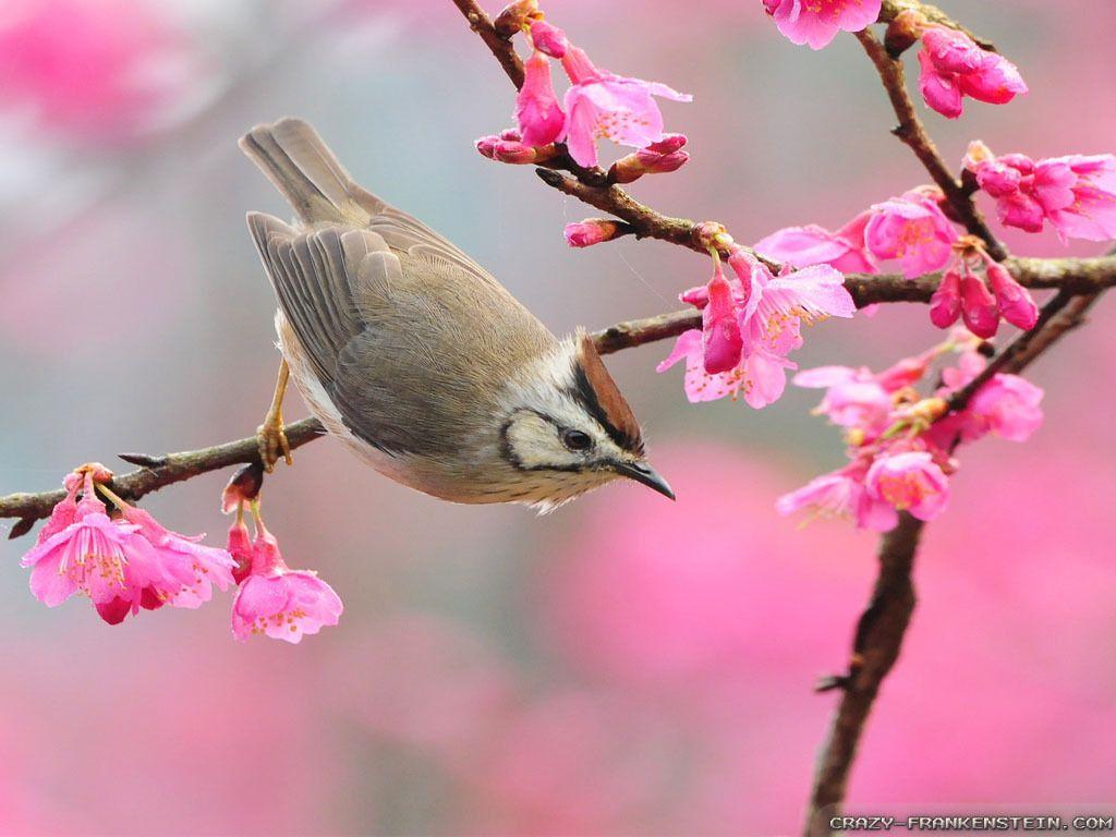Oiseau - Branches - Fleurs - Printemps - Wallpapers - Hd avec Fond D'?Cran Avec Des Oiseaux