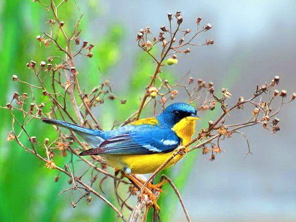 Oiseau Qui Annonce Le Printemps à Gratuites Oiseaux