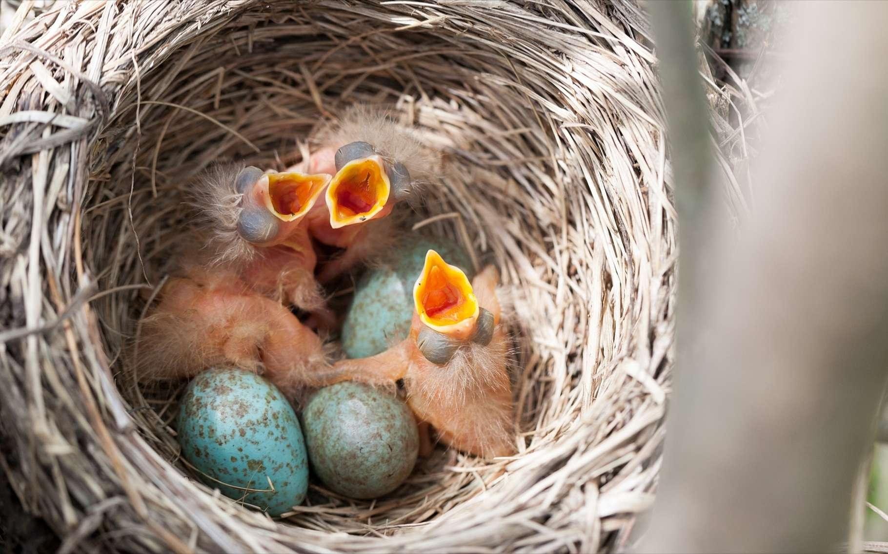 Oisillon Tombé Du Nid : Que Faire encequiconcerne Oiseau Blessé Que Faire