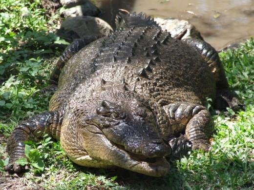 Photo : Crocodylus Porosus, Un Gros Saurien encequiconcerne Y Avait Des Gros Crocodiles
