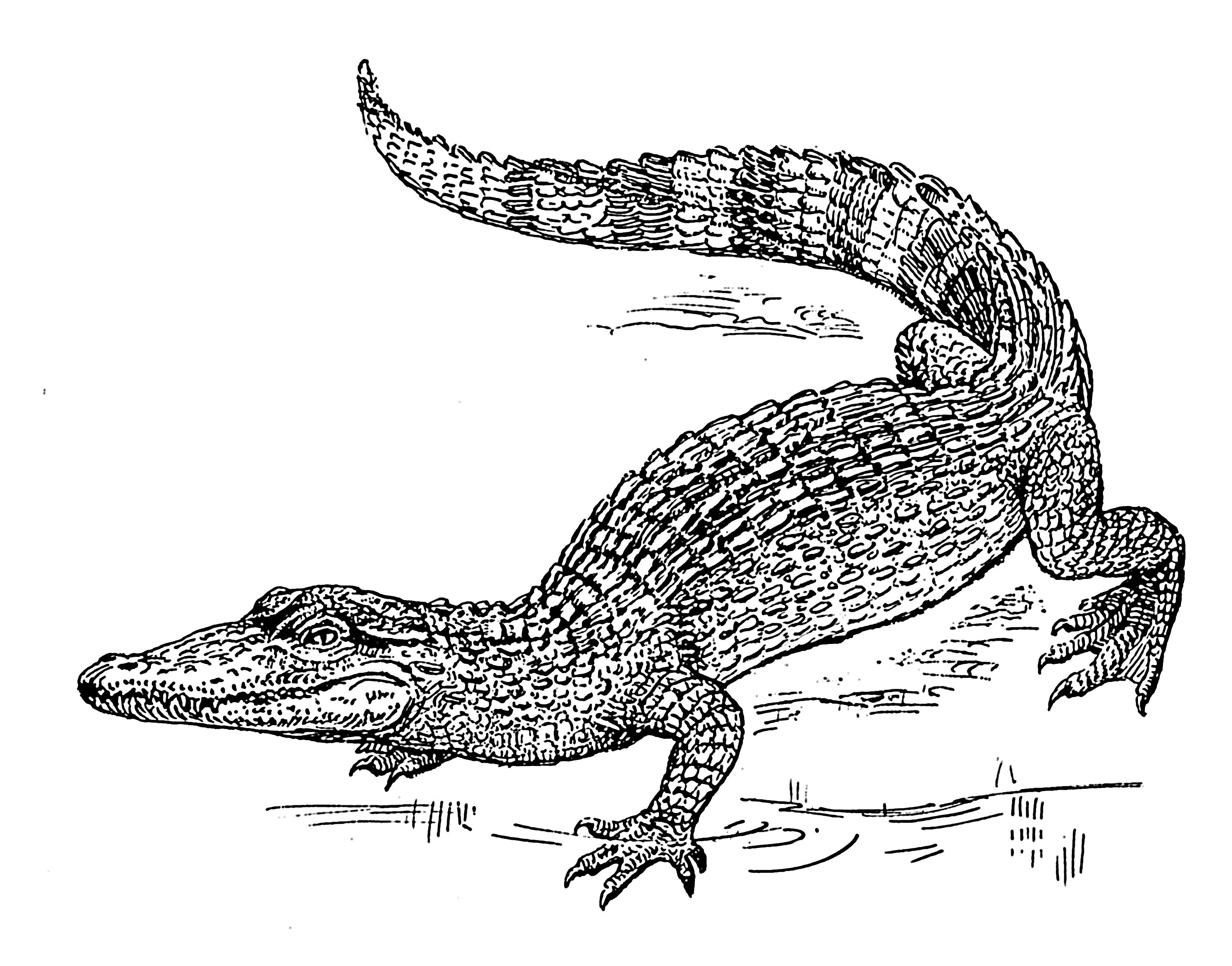 Photo De Crocodile A Imprimer - Greatestcoloringbook à Y Avait Des Crocodiles
