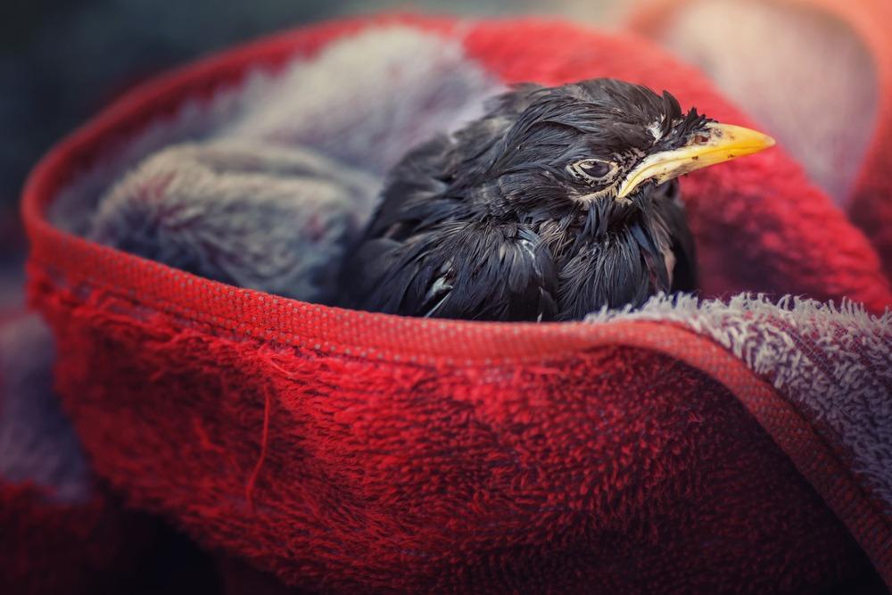 Que Faire Si Vous Trouvez Un Animal Blessé ? - Europ intérieur Oiseau Blessé Que Faire