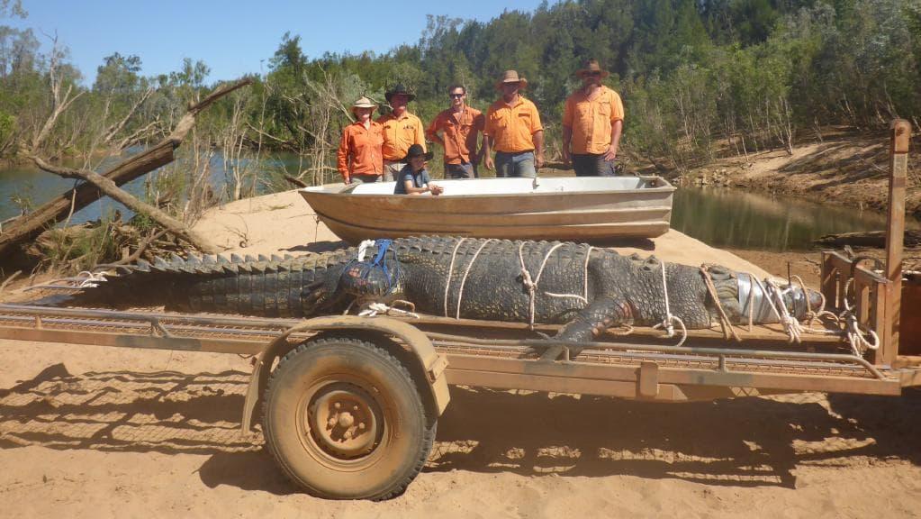 Un Crocodile De 4,7M Capturé En Australie, Une Traque Qui pour Y Avait Des Gros Crocodiles