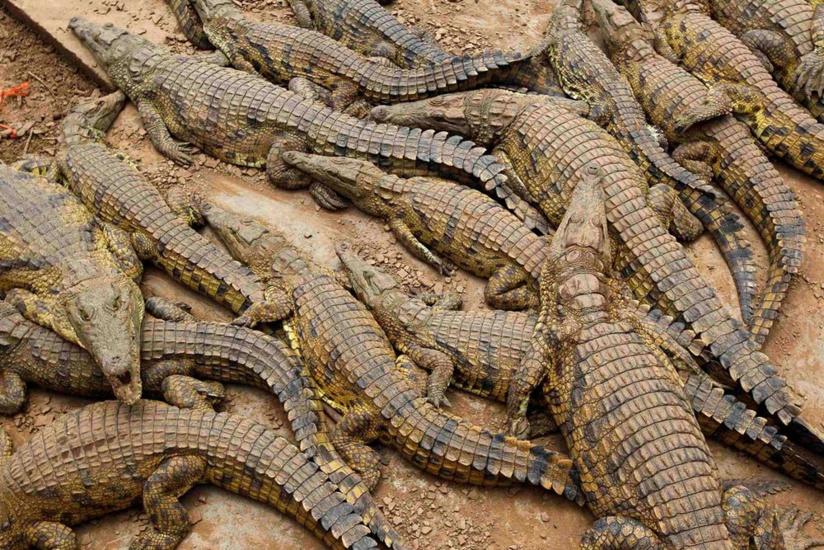 Video – Des Crocodiles Au Maroc ?! Il Y'en Avait Bien Dans dedans Y Avait Des Crocodiles